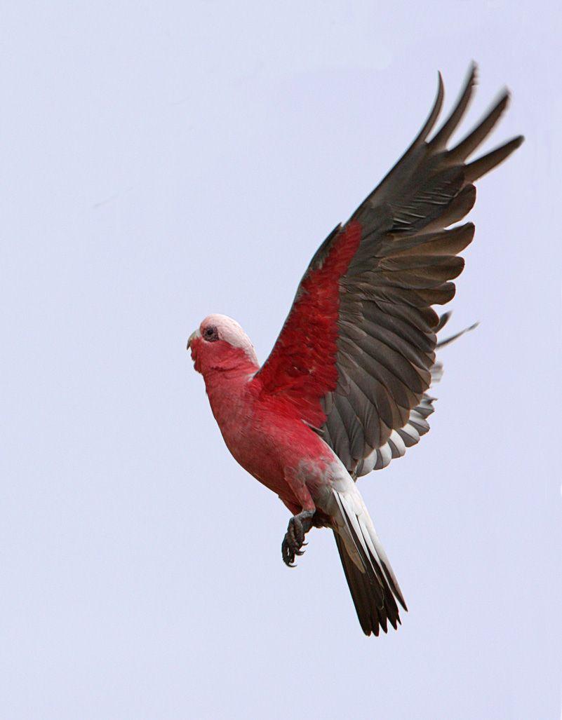galah flying - Google Search | Galah cockatoo, Beautiful ...