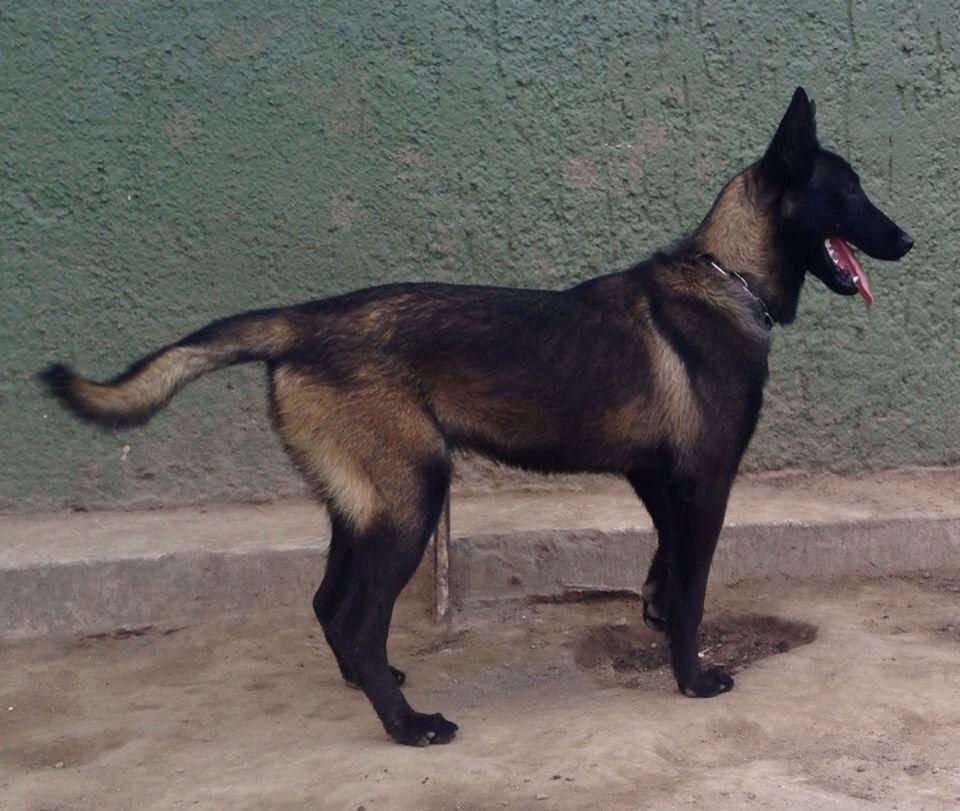 Viper Mal Belgian Malinois Dog Malinois Dog Belgian Malinois