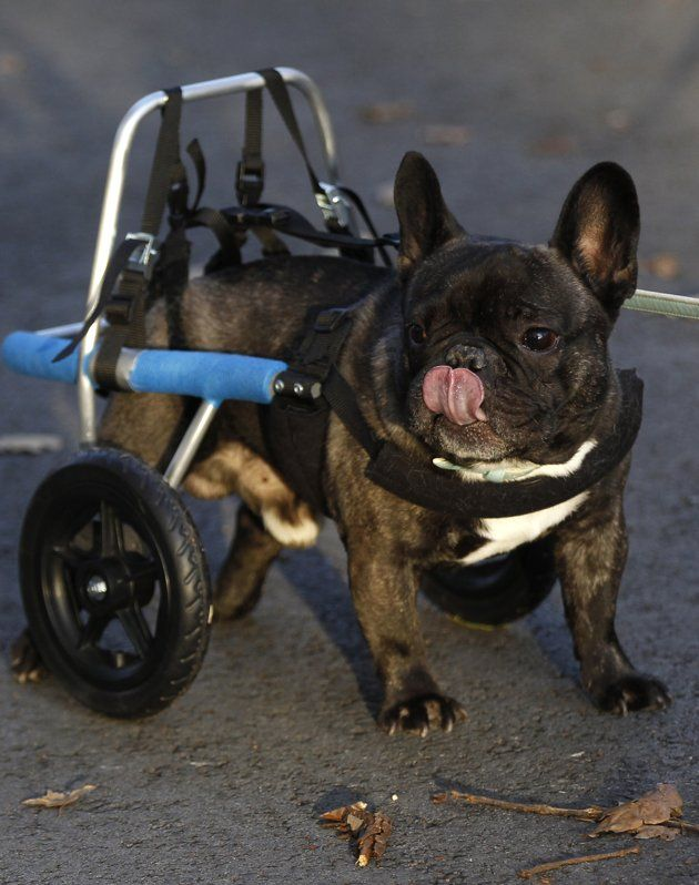 Four Year Old Billy Whose Hind Legs Are Paralyzed Since Birth