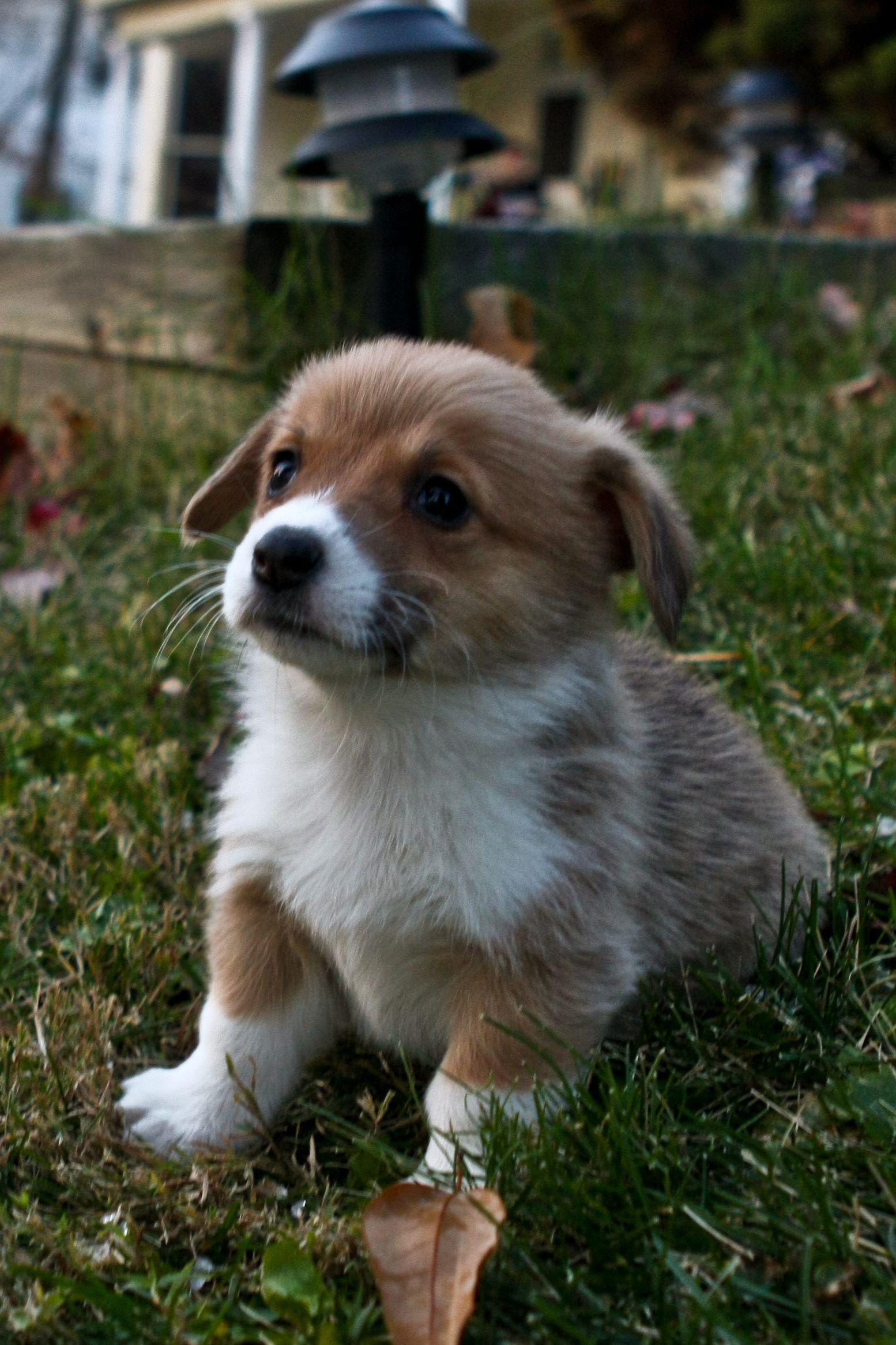Corgi puppy perfection