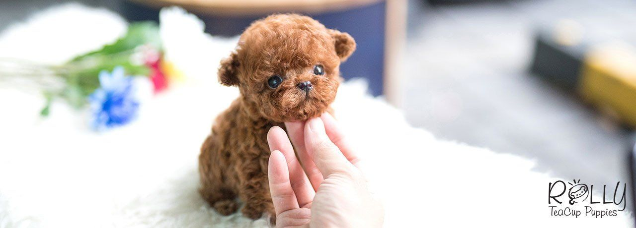 Rolly Teacup Puppies Rolly Pups Inc Perros