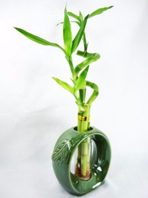 9greenbox live spiral 3 style lucky bamboo plant arrangement w green round ceramic vase. Black Bedroom Furniture Sets. Home Design Ideas