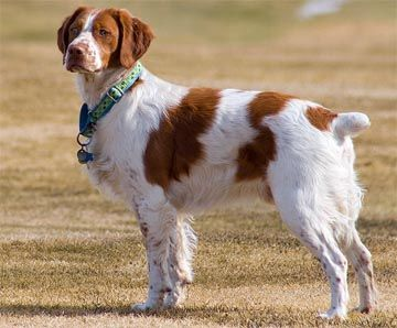 Brittany Spaniel Brittany Dog Loyal Dog Breeds Brittany Spaniel Dogs