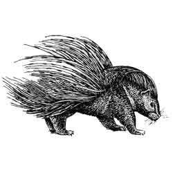 Дикобраз — зверь