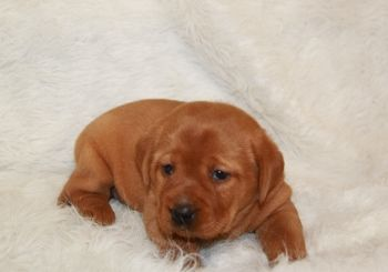 Labrador Retriever Puppies For Sale Minnesota Breeder Fox Red Ivory Black Yellow Chocolate Labrador Retriever Puppies Puppies For Sale Puppies