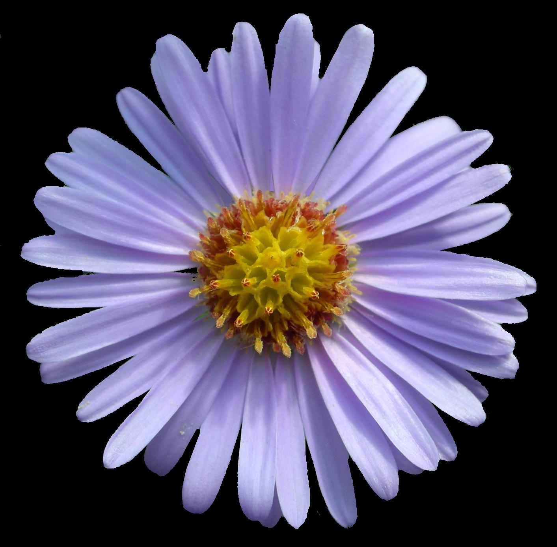 U00bb Flowers Aster Flower Plants Flower Seeds