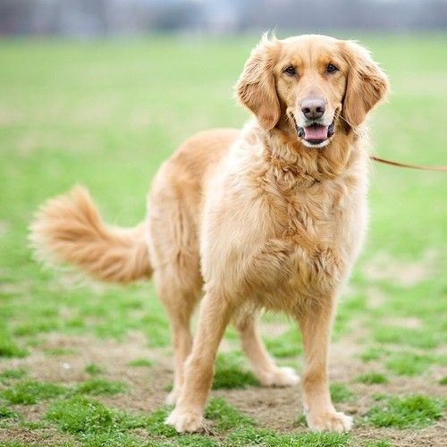 Keeley Golden Retriever Zilker Park Austin Tx The Dogist