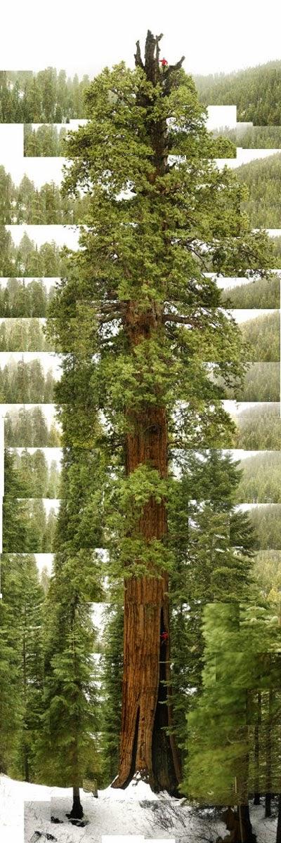 "James Balog: ""Stagg,"" Sequoia in Alder Creek Grove. Tree: A New Vision of the American Forest (2004)  ─Tot i més, al web de l'autor: http://jamesbalog.com/portfolio/changing-forests/"