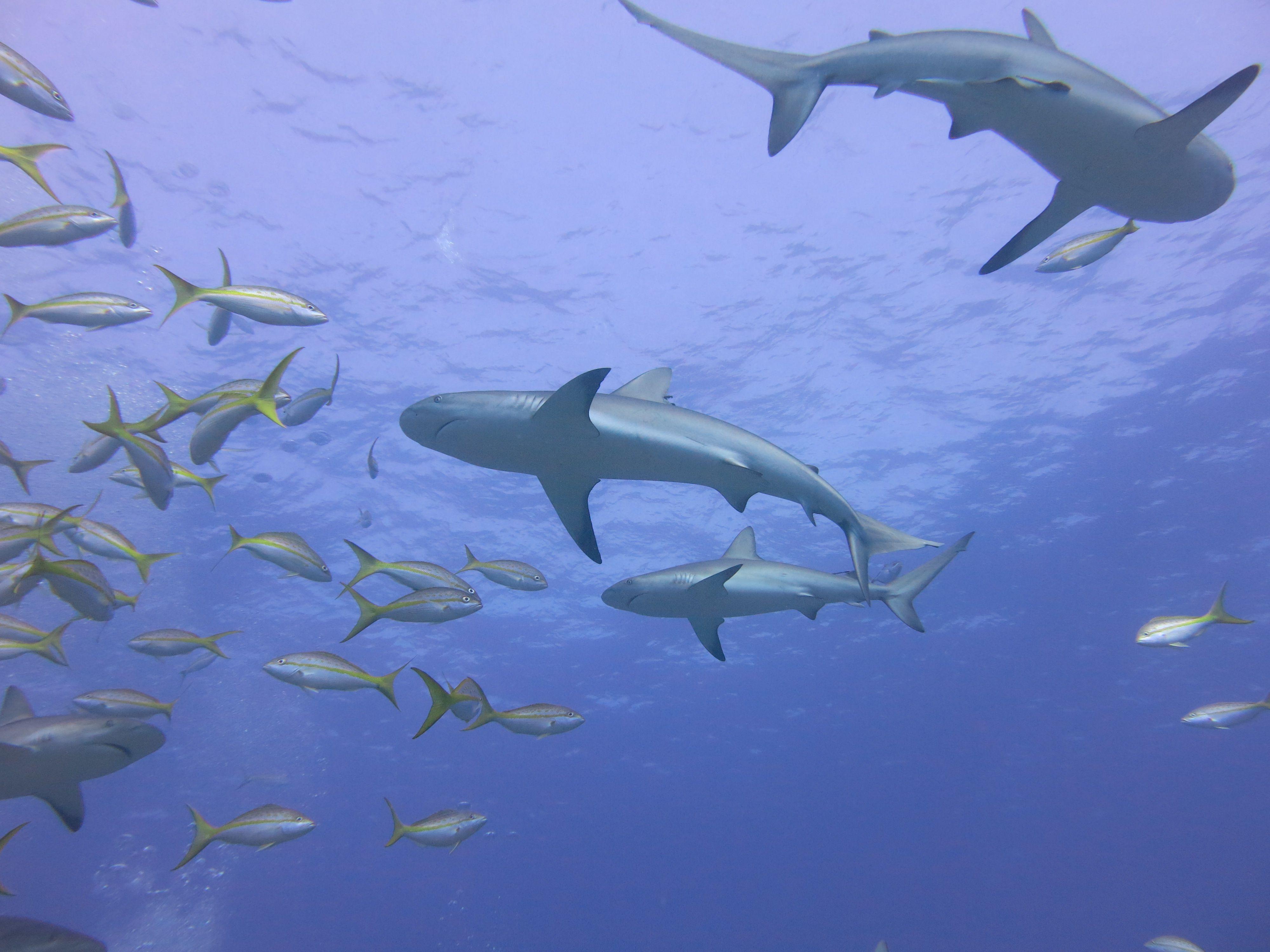 Explore The Beauty Of Caribbean: Sharks #Bahamas #exumas #sharks #blacktip #visitthebahamas