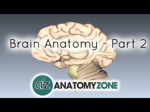Basic Parts Of The Brain Part 2 3d Anatomy Tutorial Youtube