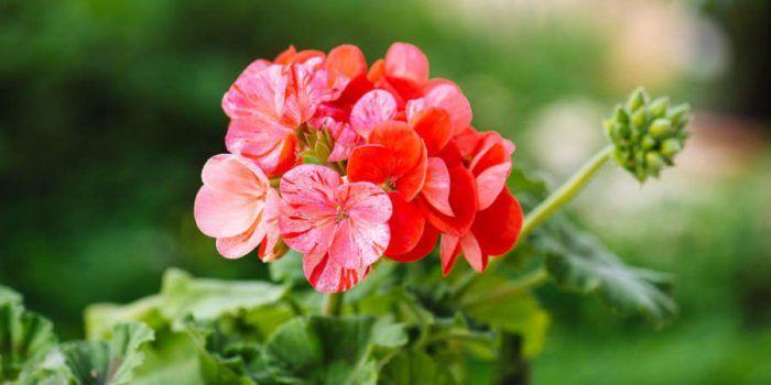 5 μυστικά φροντίδας για το γεράνι  #Φυτά