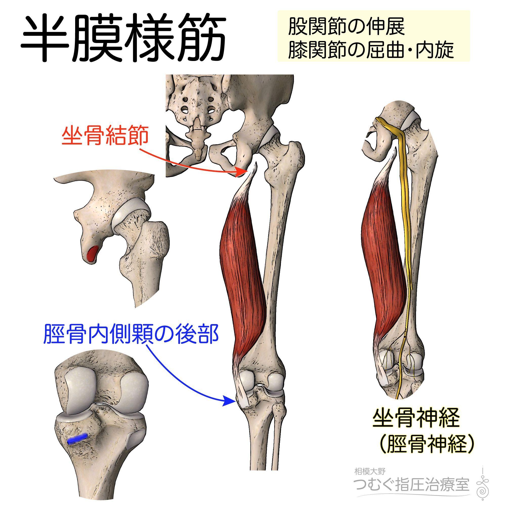 膝 関節 屈曲 筋肉