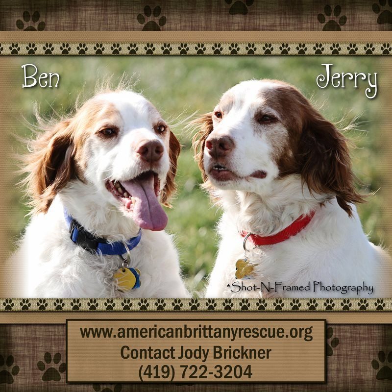 Bonded brittany brothers need new home american brittany