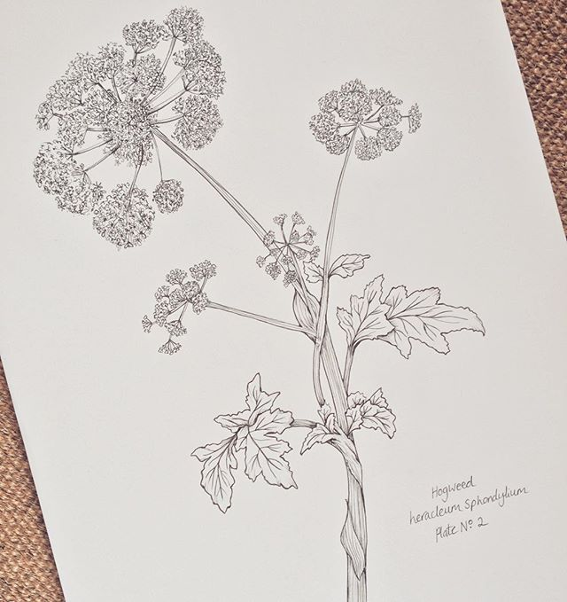 ©Hackney & Co Day 2 #ink #hogweed #no2 #the100dayproject…