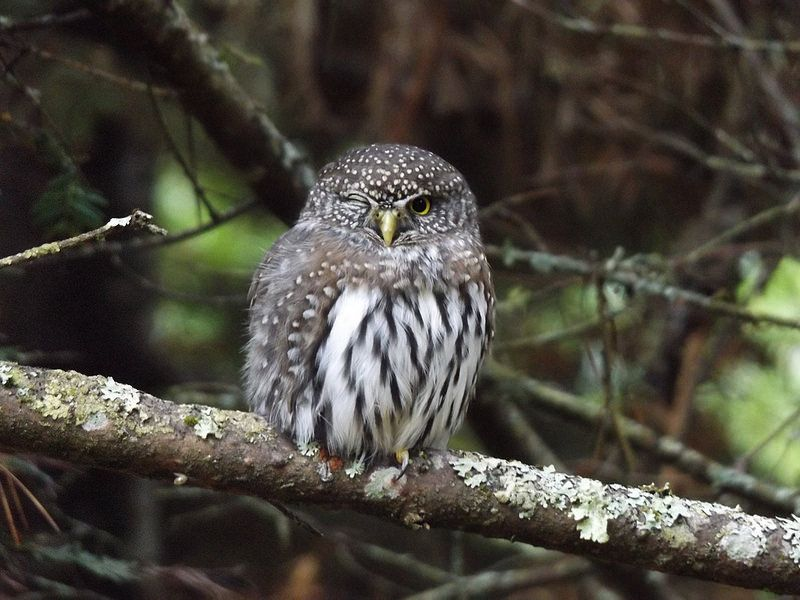 Pygmy Owl winking at me :)