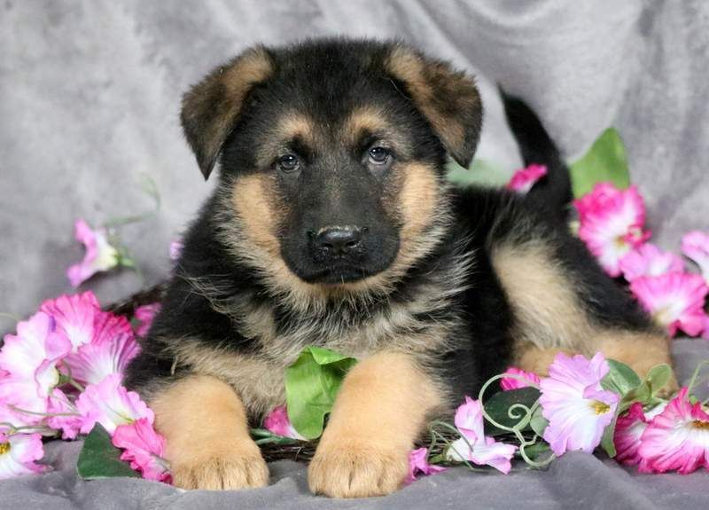 Fifi keystone puppies puppies for sale health