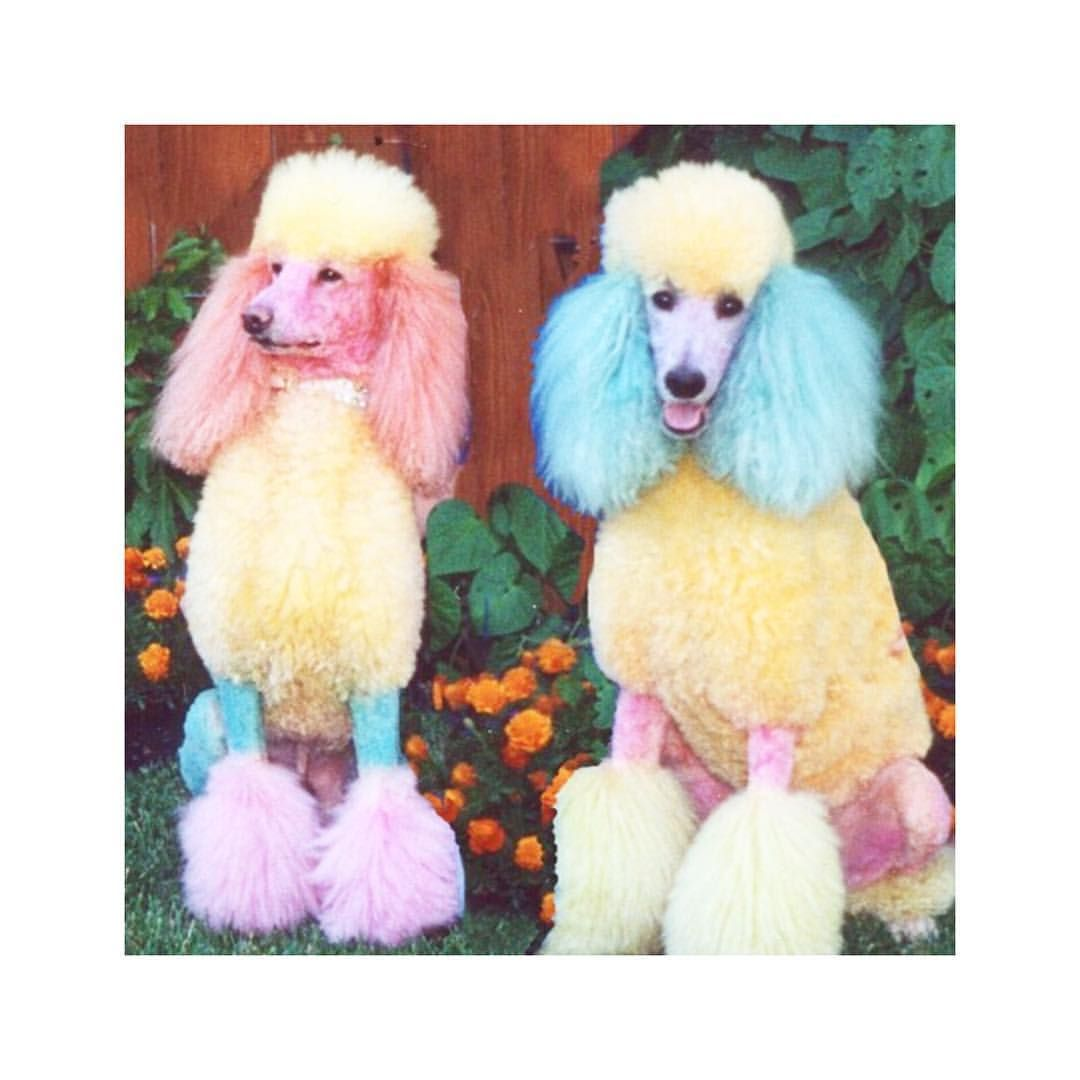 Paris Fashion Week Darling Rg Gattimania Poodle Dog Poodle