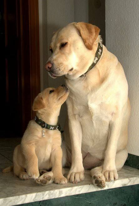 Photo of If you love Labradors visit our blog! #Labrador #LabradorRetriever #Labradorcent…