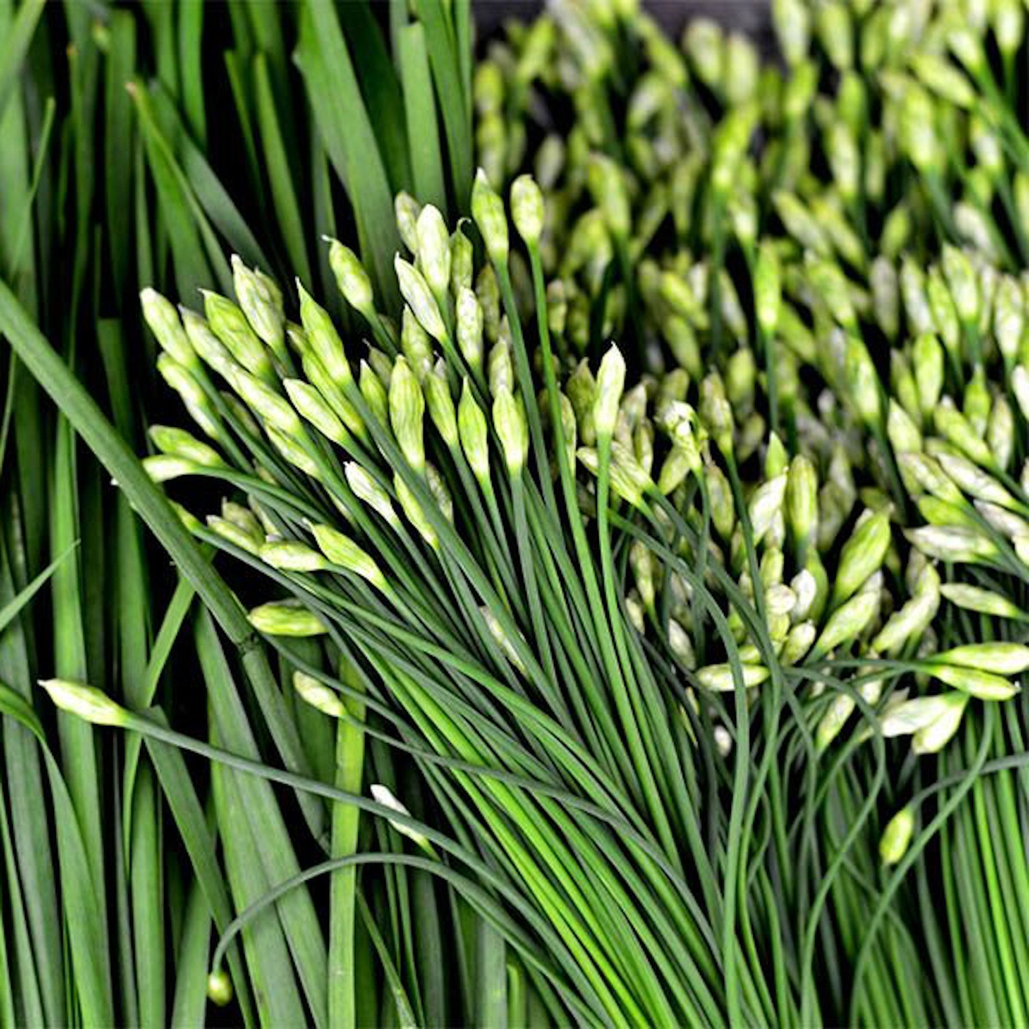 Rumored Buzz on How To Plant Chives