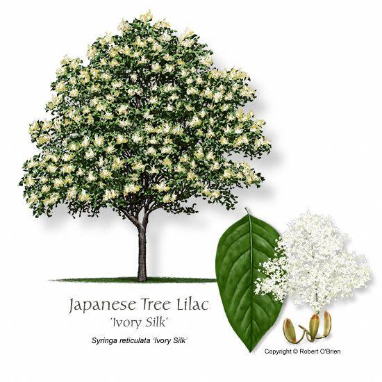 Syringa Reticulata Ivory Silk Lilac Tree Japanese Lilac Tree Japanese Tree
