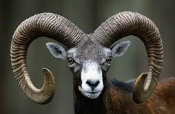 On The Island Of Cyprus The Mouflon Or Agrino Became A Different And Endemic Species Only Found There The Cyprus Mouflon Population Contains Only About 3 000