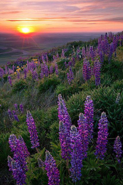 Sunset in lupine, Palouse, Oregon