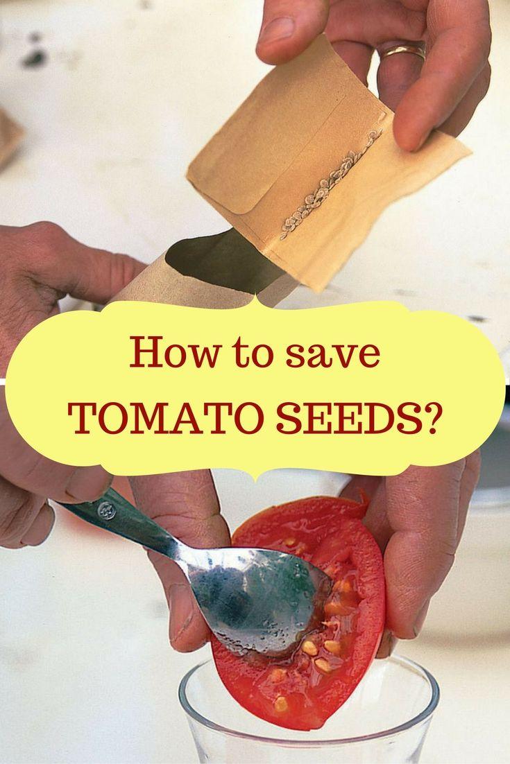 How to save tomato seeds tomato seeds tomato problems