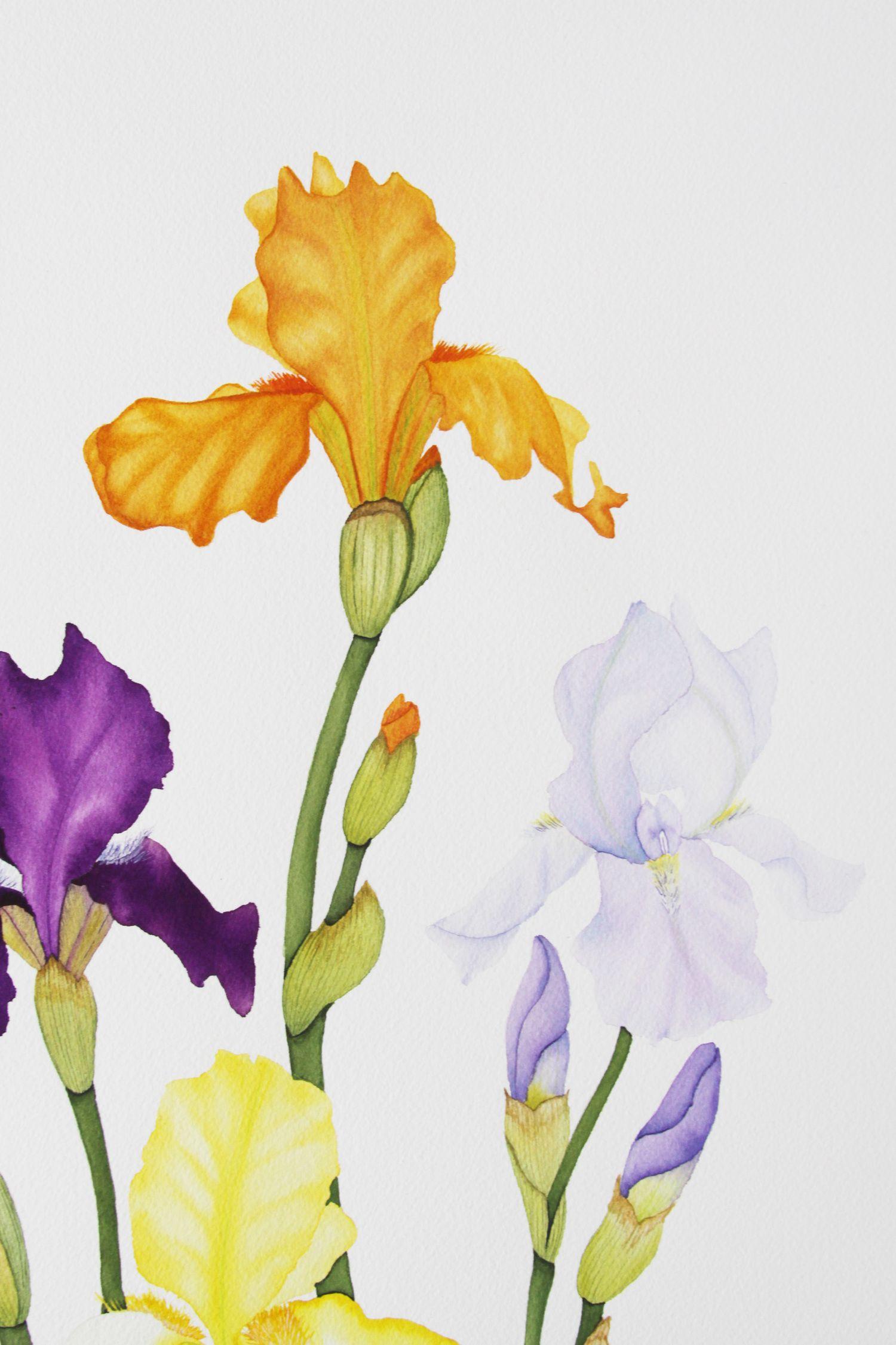 Irises 2 Jpg Painting Watercolor Paintings Watercolor Flowers