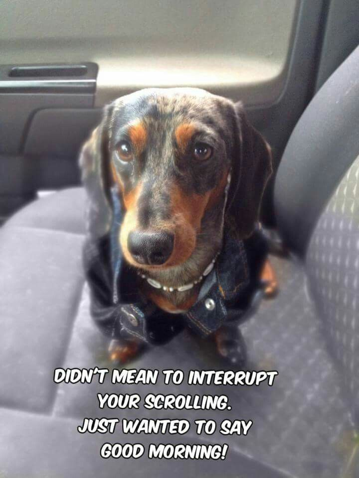 Good Morning Funny Looking Dogs Dachshund Funny Quotes