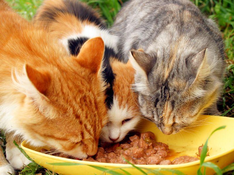 Wer Katzenfutter Selber Machen Möchte, Hat Viele