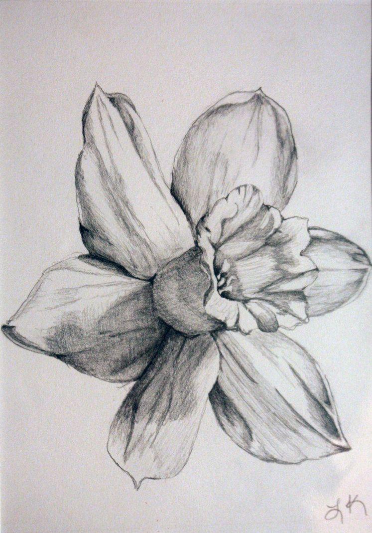 daffodil drawings black and white daffodil by tadaishar