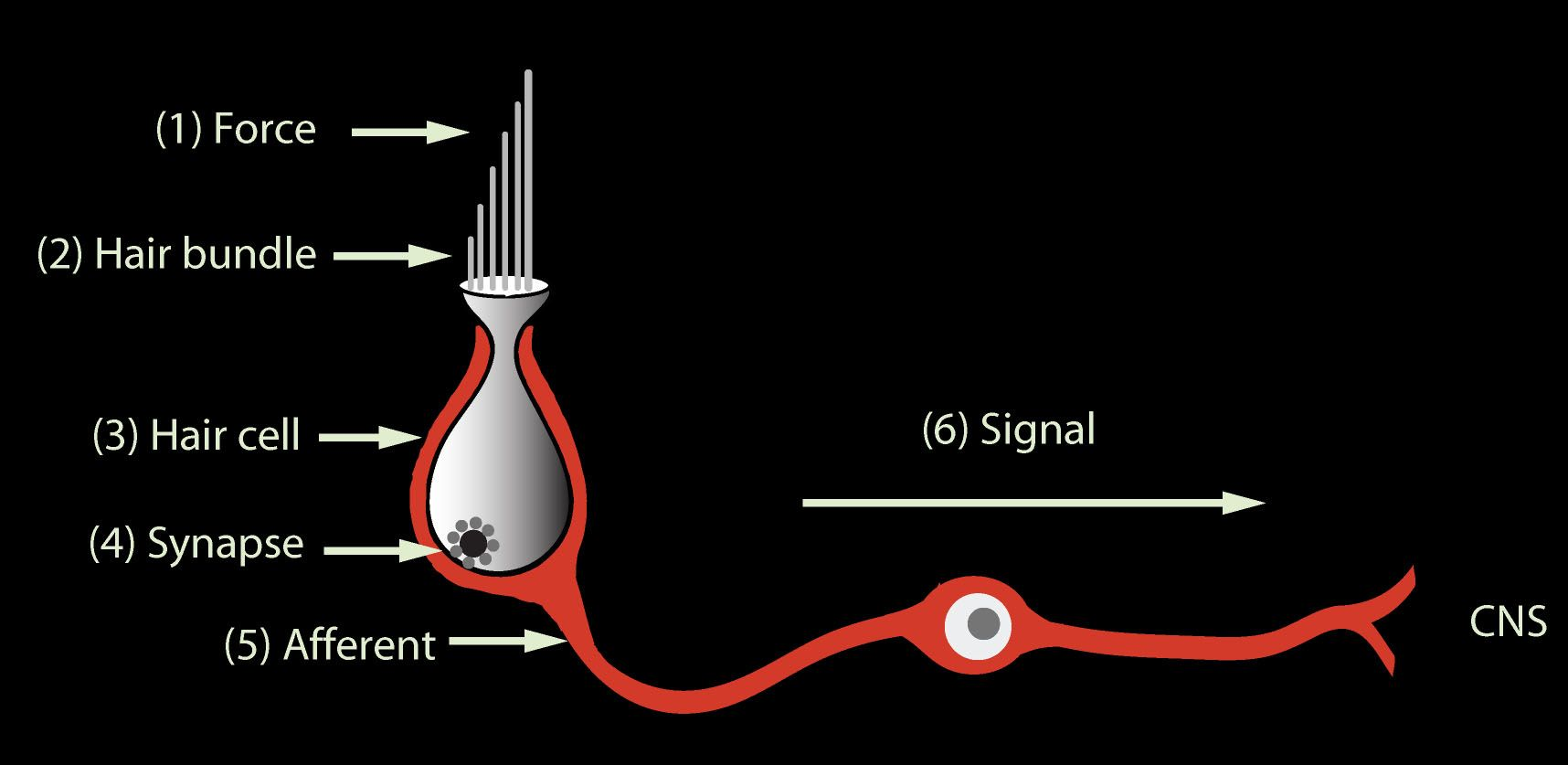 Anatomy of a vestibular hairbundle | AuD Stuff | Pinterest | Inner ...