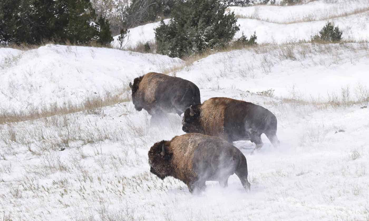 Bison Get 22,000 Acres of Additional Prairie Land to Roam Free – Watch The Spectacular Moment They Were Reintroduced After 150 Years