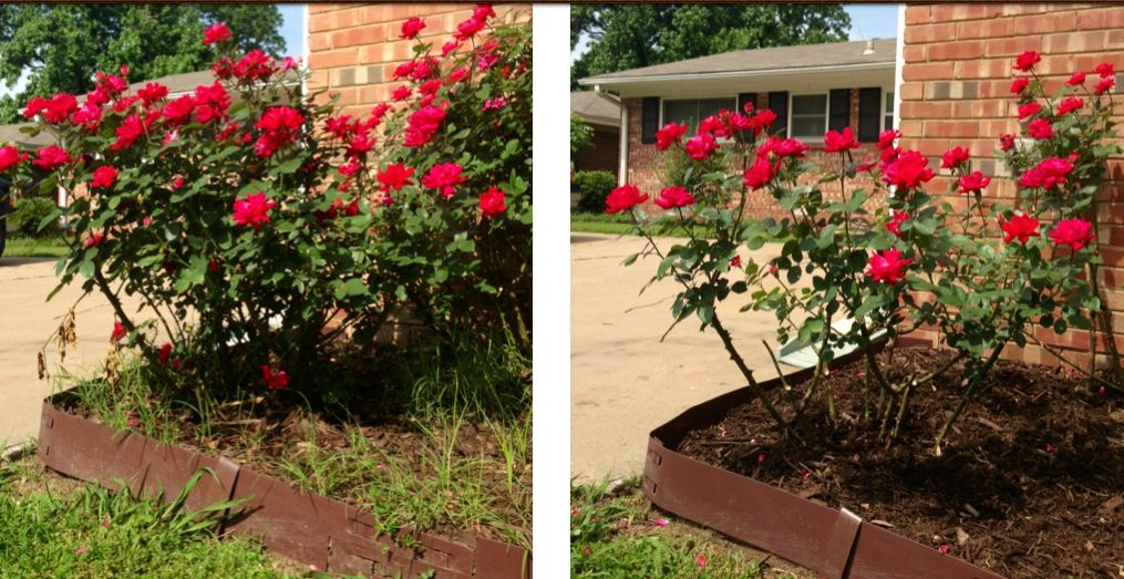 Before After Knock Out Rose Bush Pruned Incorrectly Vs A Light Summer Prune It Will Come Back Beautifully Garden And Yard Rose Bush Trees And Shrubs