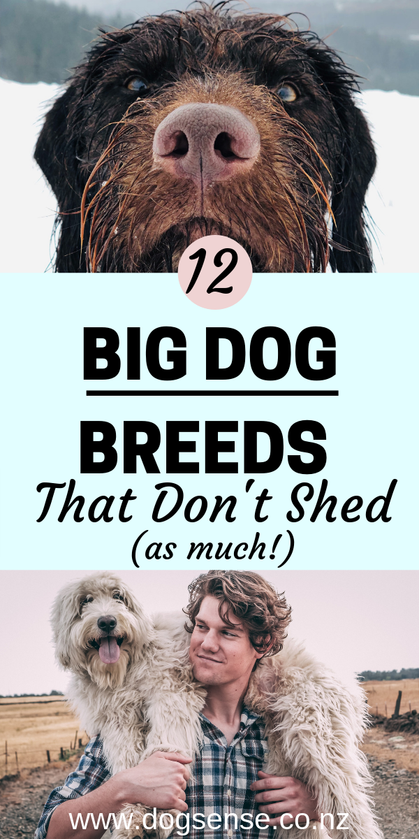 12 Big Dogs That Don T Shed But Make Up For It In Personality Dog Breeds That Dont Shed Big Dog Breeds White Dog Breeds