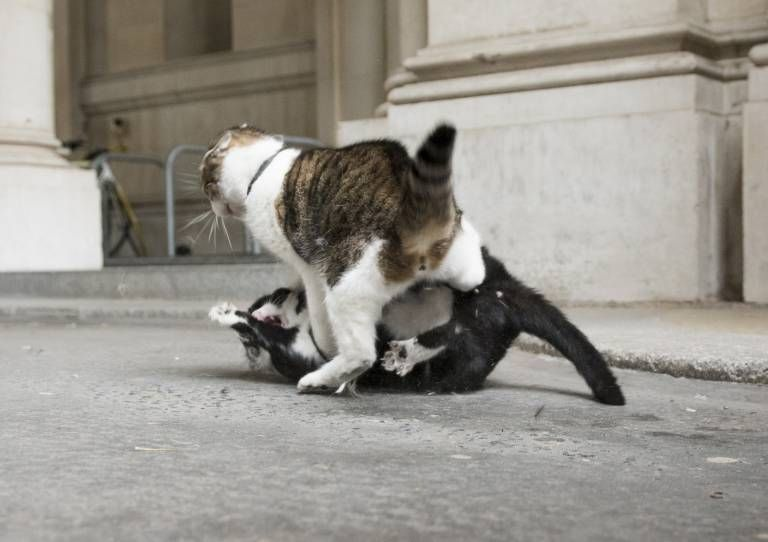 DT News. Downing Street.Pic Shows Larry (No10) having a fight with Palmerston (Foreign Office)