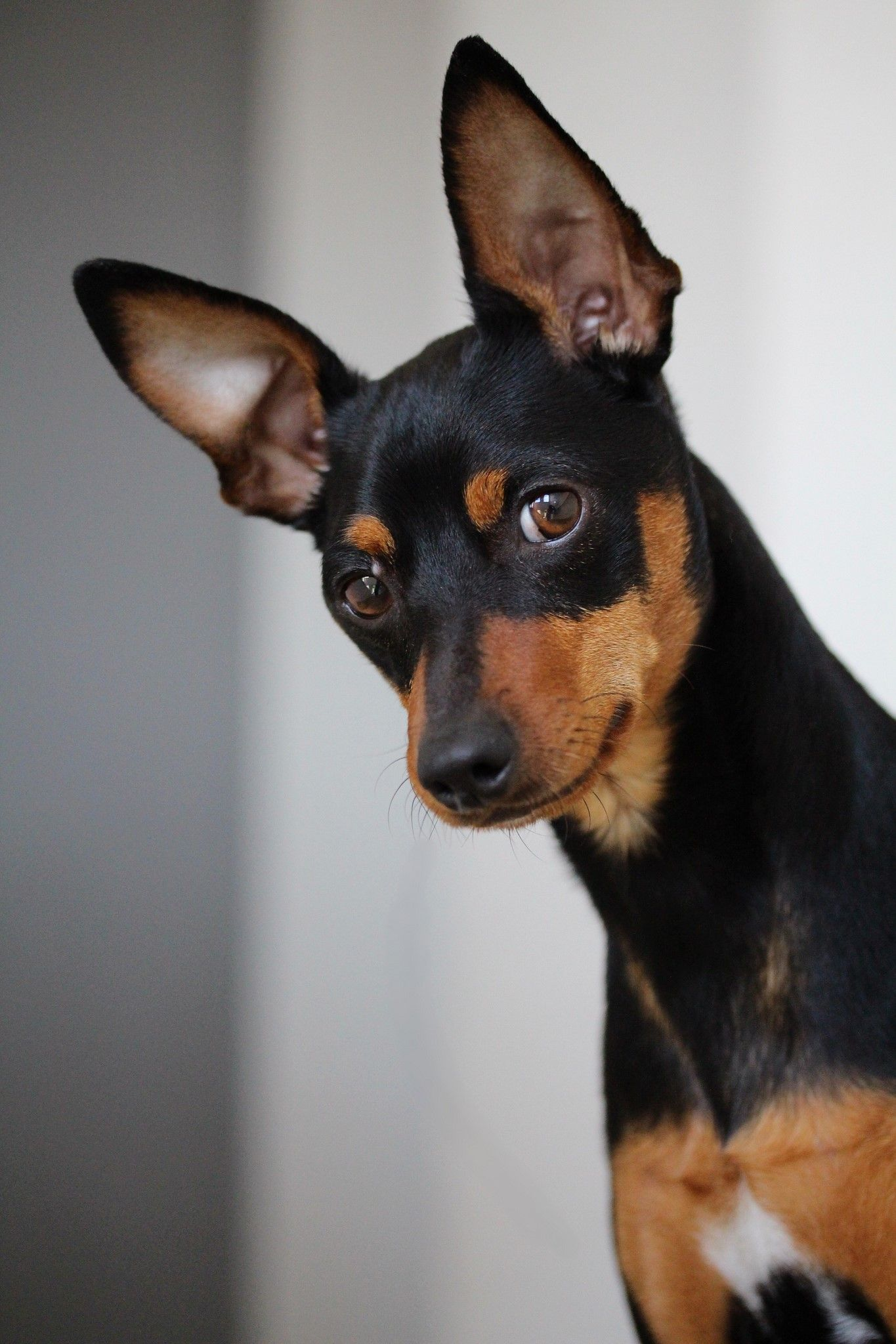 Mini Pinscher Miniature