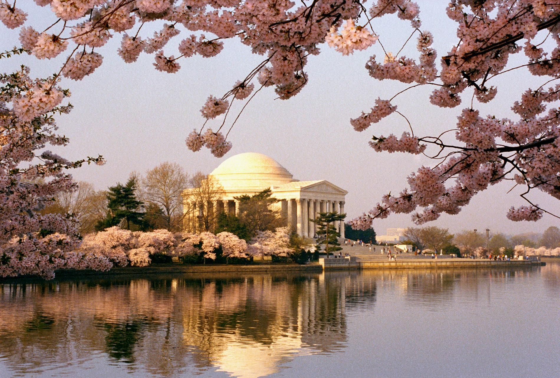 How Cherry Blossoms Came To The United States Sakura Tree American Agriculture Flowering Cherry Tree