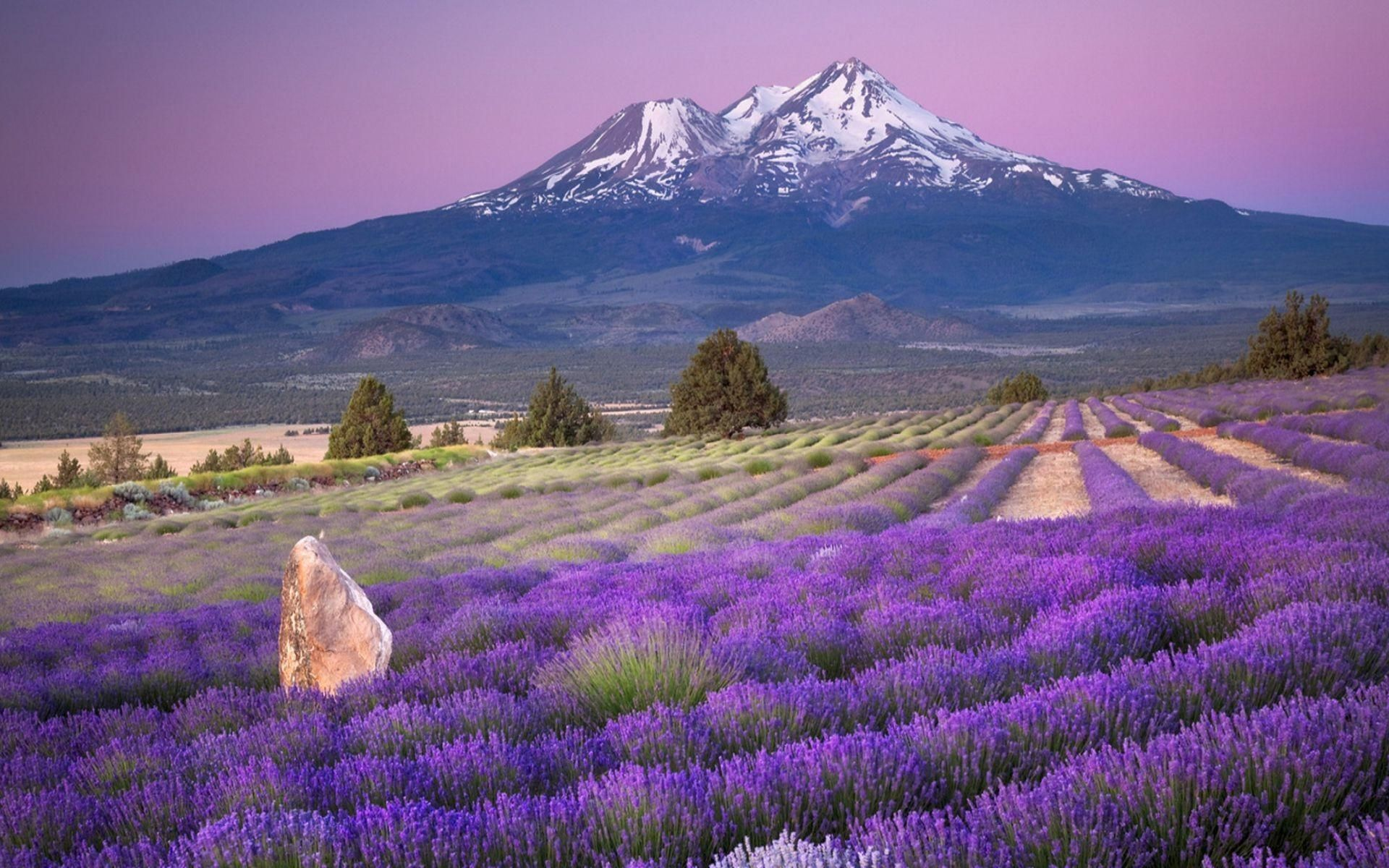 Lavender Lavender Fields Mountain Nature Field HD