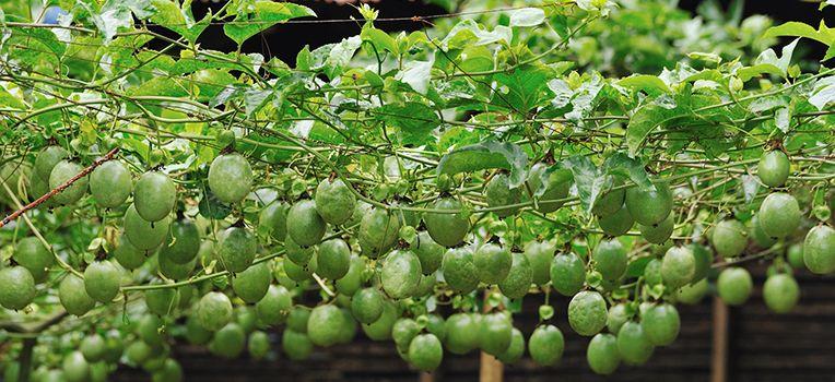 Passionfruit Growing Passion Fruit Passion Fruit Plant Fruit Garden