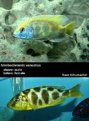 Venustus Cichlid Male Vs Female
