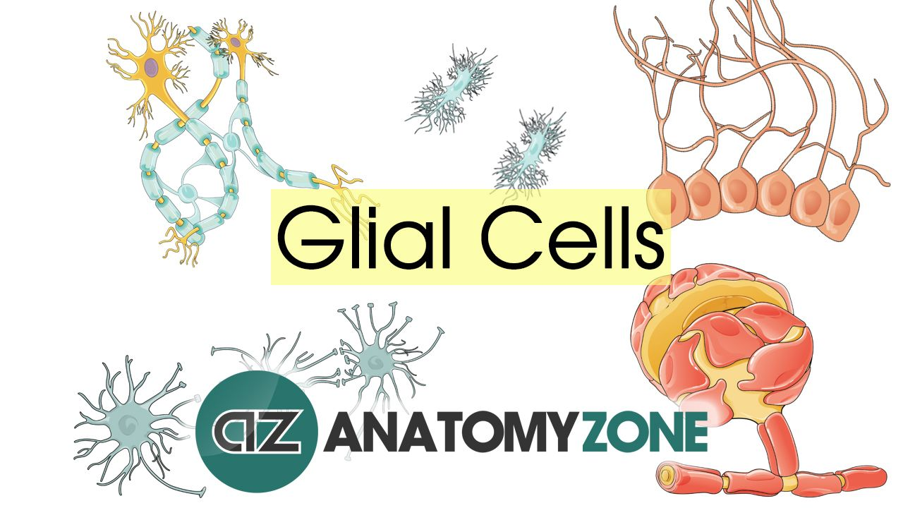 Learn All About The Different Types Of Glial Cells In This Video