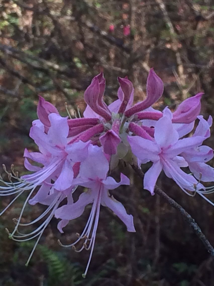 Pink wild azaleas. Flowering bushes, Beautiful flowers