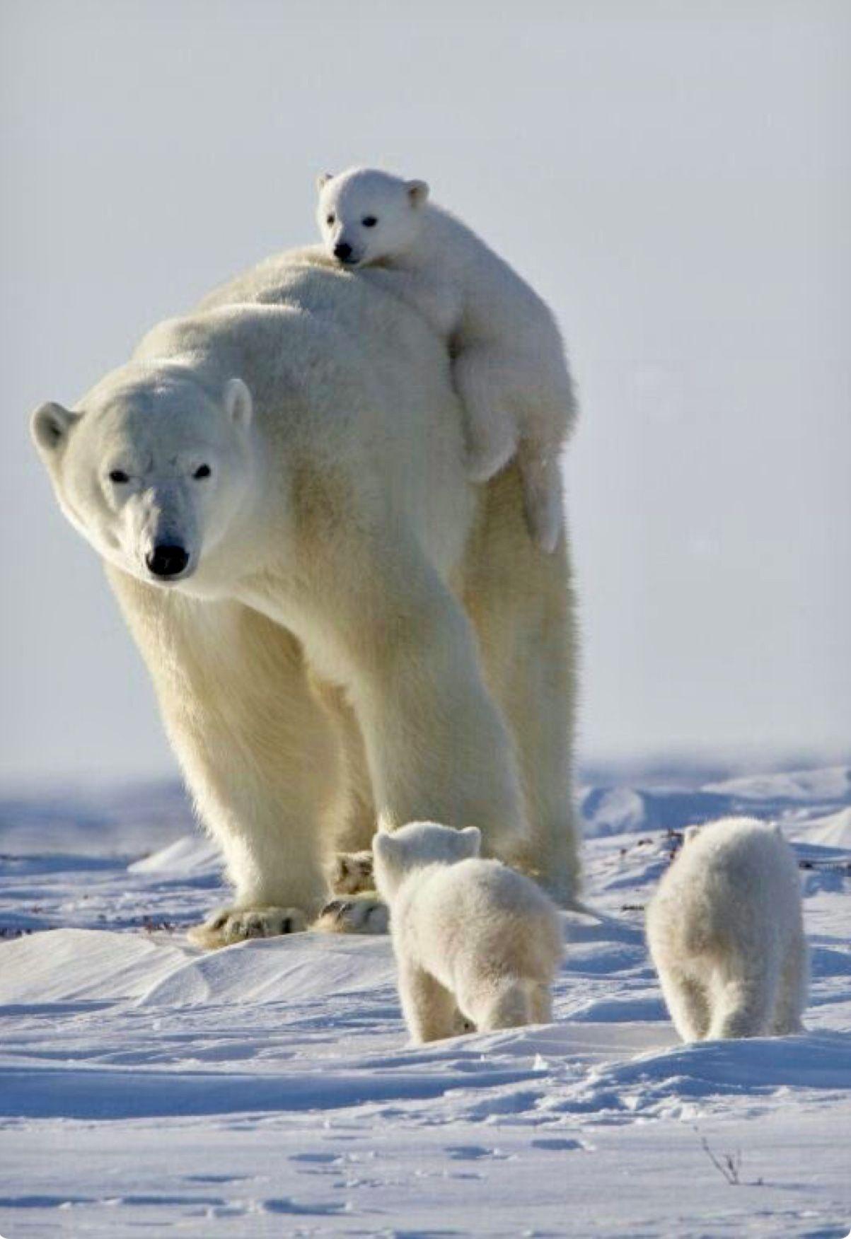 A Polar Bear Mom Busy With Three Active Cubs Cute I Animals Animals Polar Bear Cute Animals