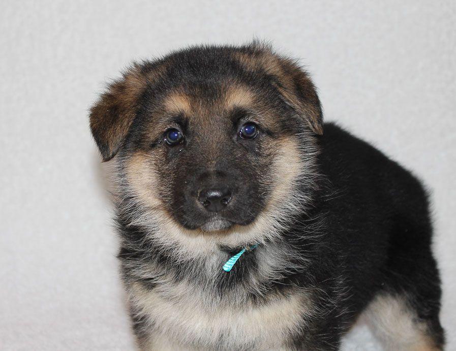 Rocky A Male Akc German Shepherd Puppy In Indiana German Shepherd Puppies