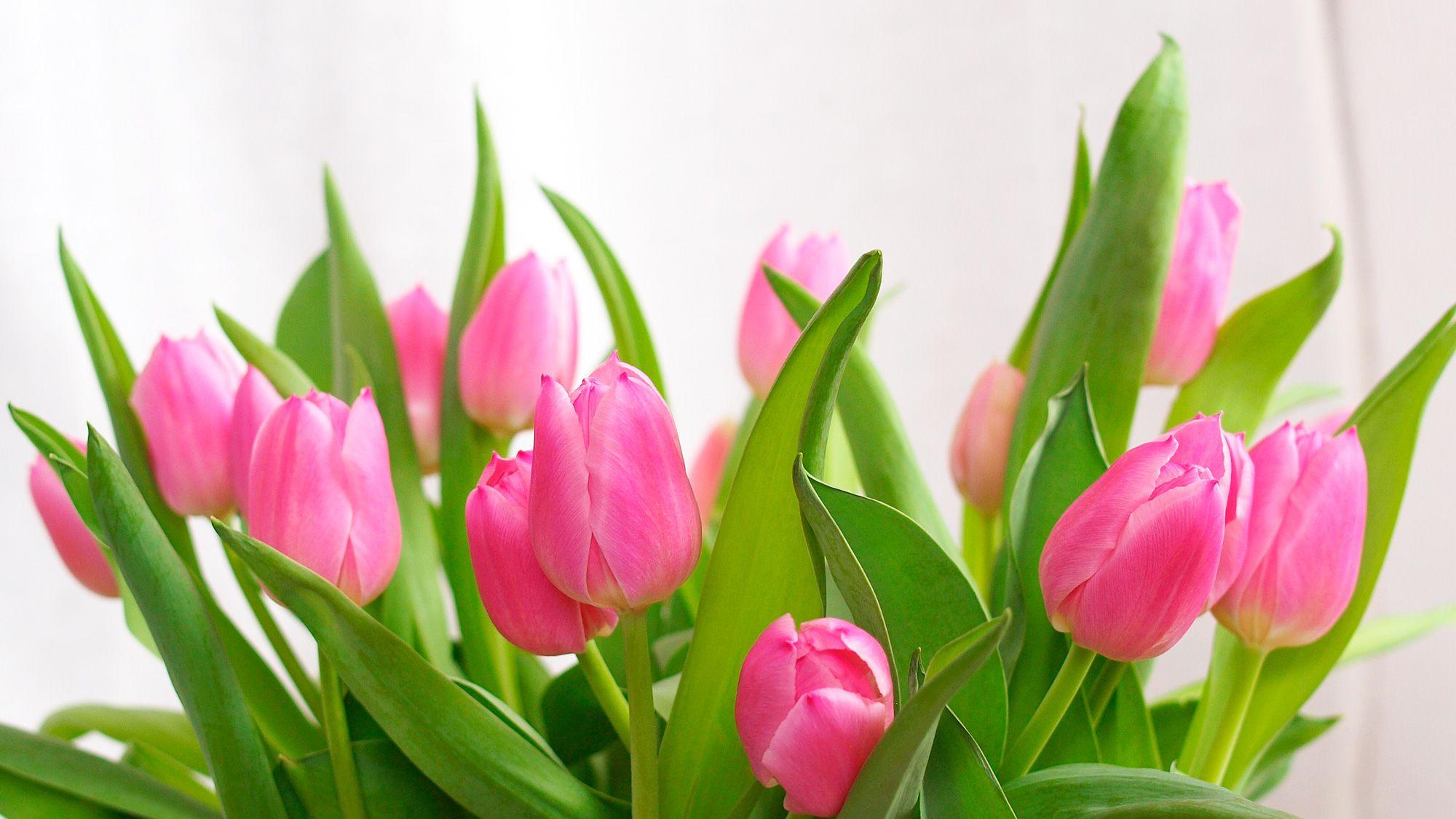 Wiosenne Tulipany Plants