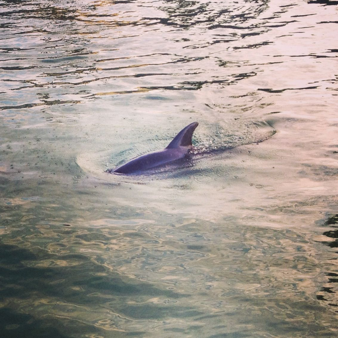 Swimming With Dolphins In The Wild St Pete Beach Florida