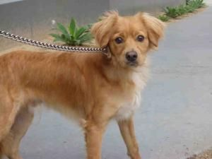 A1372000 Is An Adoptable Cocker Spaniel Dog In Los Angeles Ca Cocker Spaniel Dog Dog Adoption Pets