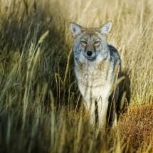 Yellowstone coyote ~ gorgeous image with fabulous details in light and colour