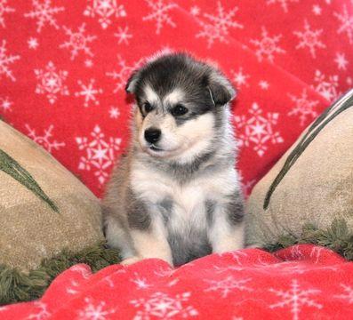 Alaskan Malamute Puppy For Sale In Los Angeles Ca Adn 38552 On